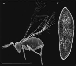 Extreme reduction in body size in an insect. (A) SEM of an adult Megaphragma mymarip- enne parasitic wasp. (B). The protozoan Para- mecium caudatum for comparison. The scale bar is 200 mm. Adapted from [5].